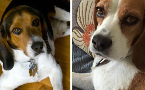 Jonesy and Bella, certified therapy beagles